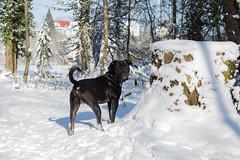 IMG_7408 (Sa Scha LC) Tags: wotan canecorso schlosssee schlosspark badwaldsee süddeutschland badenwürttemberg hund dog groserhund bigdog schwarzerhund winter schnee snow baum tree bäume baumstumpf