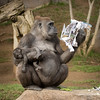 Mom catching up on current events (ToddLahman) Tags: kokamo winston leslie baby babygorilla westernlowlandgorilla gorilla magazine escondido sandiegozoosafaripark safaripark canon7dmkii canon canon100400 mammal