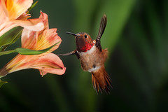 Back Feathers (Patricia Ware) Tags: allenshummingbird backyard birdsinflight california canon ef500mmf4lisusm fullframe manhattanbeach multipleflash selasphorussasin tripod httppwarezenfoliocom ©2016patriciawareallrightsreserved specanimal