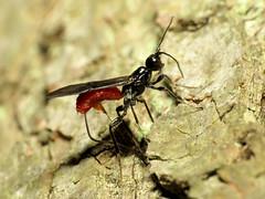 Braconid Wasp Ovipositing (treegrow) Tags: huntleymeadows lifeonearth nature canonpowershotsx40hs raynoxdcr250 virginia arthropoda insect hymenoptera braconidae