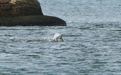 IMG_5782 (monika.carrie) Tags: monikacarrie wildlife scotland aberdeen dolphins dolphin cetacean mammal