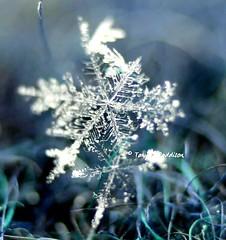 2017-01-29_02-59-03 (tpaddison1) Tags: snow snowflakes macro nature awe winter hiddenworld