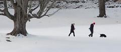 Dog the leader (ashokboghani) Tags: dog dogwalker northbridge concord massachusetts newengland snow winter