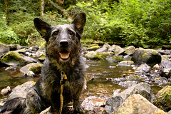 Anticipation (gwendolyn.allsop) Tags: dog hike exploration creek oregon mutt mix scruffy canine pal woods