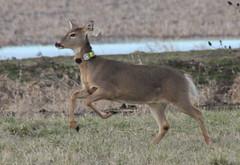 IMG_3104 Columbian white-tailed deer No 37 (Jon. D. Anderson) Tags: ridgefieldnwr deer whitetaileddeer columbianwhitetaileddeer odocoileusvirginianus odocoileusvirginianusleucurus endangeredspecies radiocollared threatenedspecies