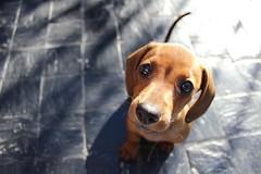 Olivia (Franco Morriello) Tags: dog cute puppy eyes sweet dachshund linda dulce salchicha cachorrita