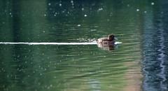 ParkRun 1.8.15_001 (jjay69) Tags: park bird water duck pond waterbird fowl hampsteadheath northlondon parkrun