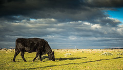 Cow in the fields behind Point Cook (Berserker26) Tags: sky field grass animal landscape cow outdoor farm grassland