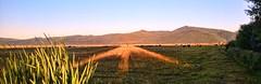 STRAIGHT AS AN ARROW (Irene2727) Tags: light nature field oregon landscape pattern cows shade arrow onecow fortklamathoregon