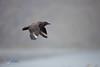 Brown Skua (Stercorarius antarcticus) in flight.  St Andrews Bay, South Georgia. (LEXsample) Tags: brownskua bruinejager catharacta catharactalonnbergi charadriiformes iaatoguidelines lexsample skua southgeorgia standrewsbay stercorariidae stercorariusantarcticus jager status:iucn=lc