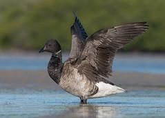 Brant (Atlantic) (PeterBrannon) Tags: atlanticbrant bird brant brantaberniclabernicla bunche florida leecounty nature wildlife wings stretching