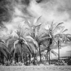Palm Trees Nayarit (Mabry Campbell) Tags: 2014 houstonphotographer ir mabrycampbell march mexico nayarit puntamita rivieranayarit beach blackandwhite coast coastal commercialphotography fineartphotographer fineartphotography image infrared landscape photo photograph photographer photography squarecrop trees tropics white f40 march22014 20140302img7417 40mm ¼sec 100 ef1740mmf4lusm