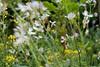 Rettichblüte (tama*) Tags: mai blüten wildpflanze