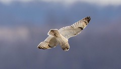 840A0655 (rpealit) Tags: scenery wildlife nature wallkill river national refuge area shorteared owl bird