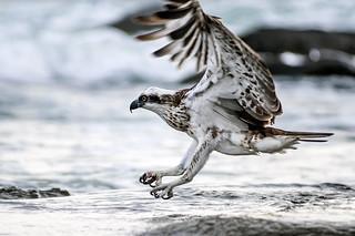 IMGP1320-  Osprey landing in the ocean