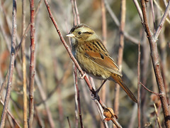 SWSP_2016 (Surfishrink) Tags: swampsparrow northcarolina peaisland melospizageorgiana