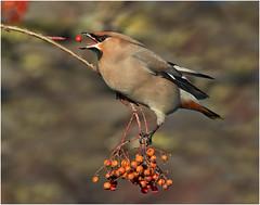 Waxwing (Antony Ward) Tags: waxwings wintervisitors