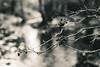 La Brague (epigout06) Tags: root iptcsubjects rivières nature ressourcesnaturelles racine environnement iptcnewscodes 06000000 06006000 06006006 06007000 environmentalissue naturalresources rivers