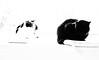 the two ladies monochrome (PDKImages) Tags: cat black ragdoll monochrome pet animal feline blackcat asleep eyes calming