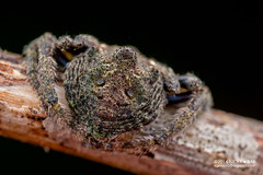 Wrap-around orb weaver (Talthybia sp.) - DSC_7381 (nickybay) Tags: singapore admiraltypark macro araneidae talthybia wraparound orb weaver spider