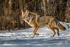 ColdTrot (jmishefske) Tags: sunny nikon winter halescorners d500 whitnall milwaukee weather cold female daytime january 2017 coyote wisconsin park subzero snow diamond