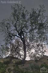 Olivastro, a Wild Olive-tree (paolo.gislimberti) Tags: alberi trees vegetazionerupestre rockyvegetation macchiamediterranea mediterraneanmaquis
