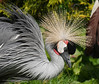 Trying to impress (yvonnepay615) Tags: panasonic lumix gh4 nature birds crane pensthorpe norfolk eastanglia uk