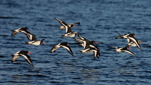 Oyster catchers at Greenock, Scotland.
