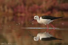 Knight @dawn (Jokermanssx) Tags: birds cavaliereditalia molentargius quartuse reflection riflesso sardegna stagno