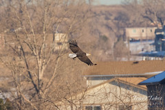 Bald Eagle takes its food to safety