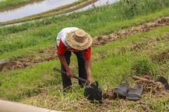 IMG_4381 (FelipeDiazCelery) Tags: indonesia bali asia arroz rice ricefields composdearroz agricultura griculture wrok worker trabajdor granjero granja farm farmer