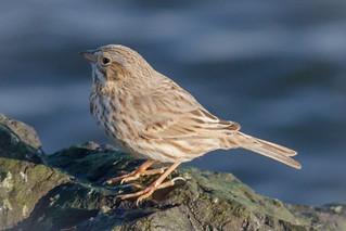 Ipswich Sparrow