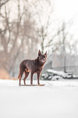 2/52 Grimm (andyjateer) Tags: grimm praha psi australian kelpie dog red canon 100mm