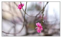 SHF_2458_peach blossom (Tuan Râu) Tags: 1dmarkiii 14mm 100mm 135mm 1d 1dx 2470mm 2017 50mm 70200mm canon canon1d canoneos1dmarkiii canoneos1dx hoadao peachblossom dof bokeh flowers hoa hanoi tuanrau tuan râu