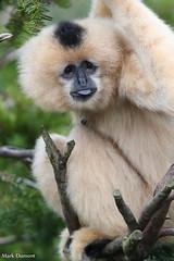 234A5666.jpg (Mark Dumont) Tags: animals cincinnati dumont gibbon mammal mark primate white zoo
