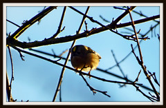Early morning Goldcrest. (postman.pete) Tags: wickedweasel hwcp goldcrest great lumix winter