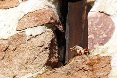 Trastungar (evisdotter) Tags: nature birds fglar trast kyrktorn fgelungar