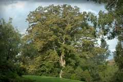 Ficus macrophylla (dustaway) Tags: tree nature australia nsw bigtree moretonbayfig moraceae northernrivers ficusmacrophylla australiantrees richmondvalley ironpotcreekvalley