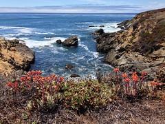 Dudleya palmeri by the shore. (Reggie1) Tags: dudleya dudleyapalmeri
