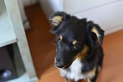 Nala (Matias Pavez Peillard) Tags: dog shepherd australian perro australiano aussie nala pastor ovejero