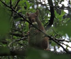 oups, j'l'avais pas vue elle :p (laetitiablabla) Tags: red france tree nature animal fauna flora squirrel burgundy magic group bourgogne arbre roux ecureuil yonne mammifere