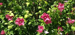 Hibiscus 04 (@bodil) Tags: pink flowers france fleurs hibiscus normandie