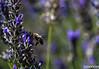 Bee approaching lavender (izoerkler) Tags: pentax outdoor natur lavender croatia bee ricoh biene lavendel kroatien k50 anflug babinkuk