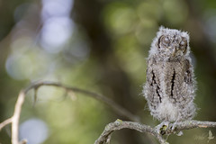 Giovane assiolo (_milo_) Tags: italy bird canon eos italia tamron oiseau uccello oasi 70300 angera otusscops assiolo 60d bruschera
