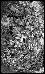 B&W Flowers,Summer,Groningen stad,the Netherlands,Europe (Aheroy) Tags: flowers bw zwartwit groningen bloemen zw compositie aheroy aheroyal