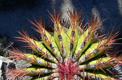 Cactus (moke076) Tags: california park cactus nature cacti garden succulent dangerous nikon san desert barrel diego sharp socal spines balboa prickly spiny d7000