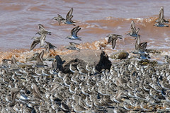 Sandpipers Flash Mob (20150801-122450-PJG) (DrgnMastr) Tags: bravo fb sandpipers avianexcellence eiap sacrednature naturesspirit damniwishidtakenthat naturescarousel dmslair sunshinegroup johnsonsmillsnb grouptags wonderfulfragileworld allrightsreserveddrgnmastrpjg pjgergelyallrightsreserved