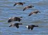 Brent Geese in Flight (Roy Lowry) Tags: brantabernicla brentgoose hilbreisland flightshot