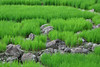 Panti - Ricefield Details (Drriss & Marrionn) Tags: travel panti sumatra indonesia outdoor southeastasia asia green landscape landscapes plant plants tree trees bananas rice ricefield ricefields field serene frameitlevel01