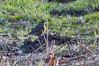 Redwing (kevinwolves) Tags: redwing bird baggridgecountrypark baggeridge nature wildlife kevinwolves nikon nikond300 nikon55300mmvr kenko kenkoteleplus14x